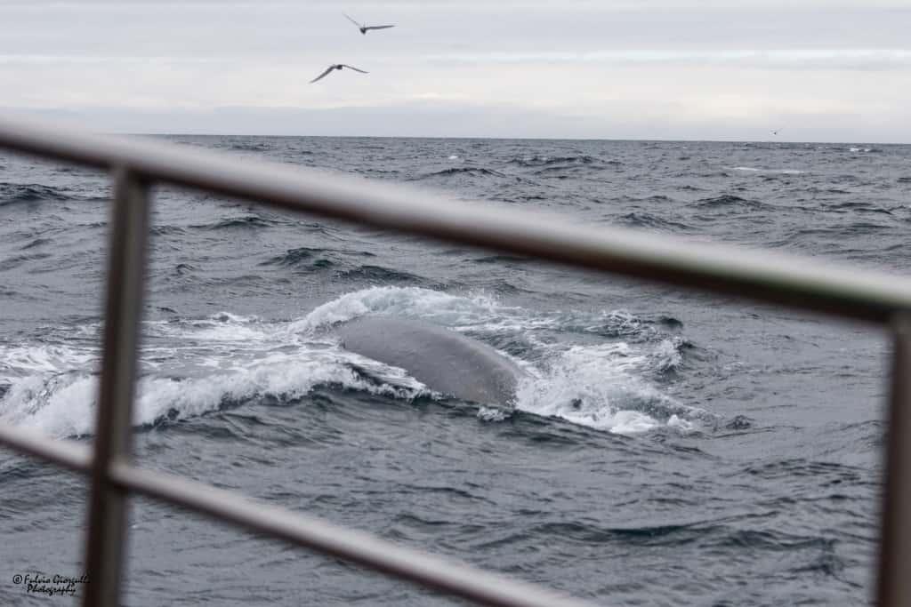 islanda husavik balene
